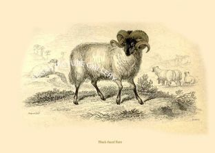 Black-faced Ram